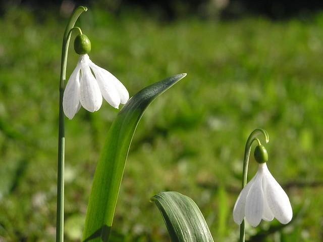 Galanthus plicatus 'E.A. Bowles'