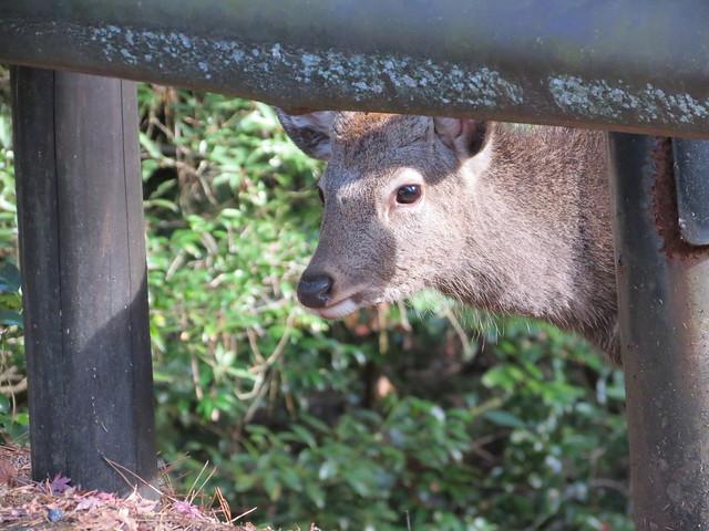 Miyajima Deer