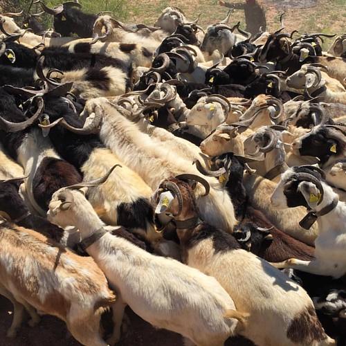 La cabra blanca de Rasquera és l'única autòctona que queda a Catalunya i una de les quatre als Països Catalans. Està en perill d'extinció, ja que el seu cens és de només 5.500 exemplars.
