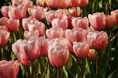More beautiful tulips...