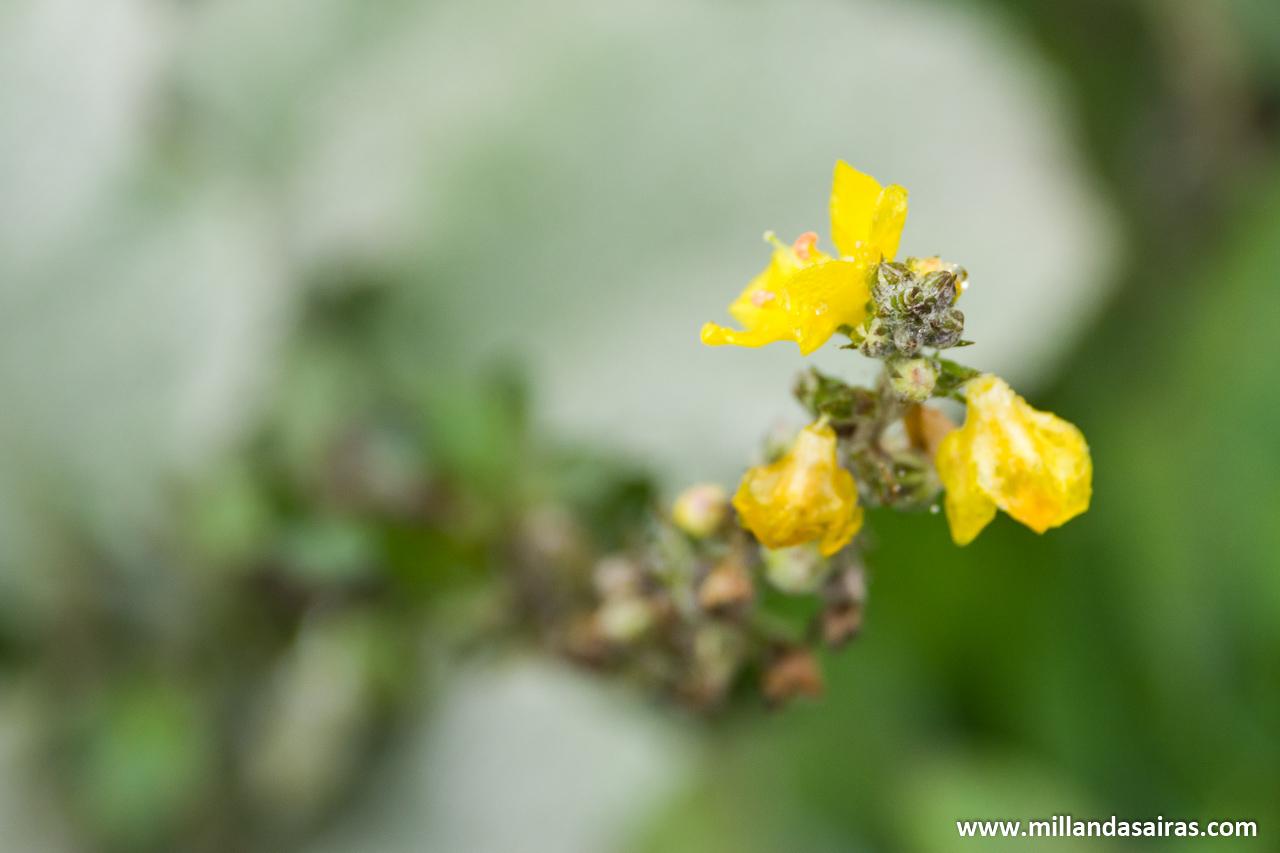 Flor de tojo en el bosque da Fervenza
