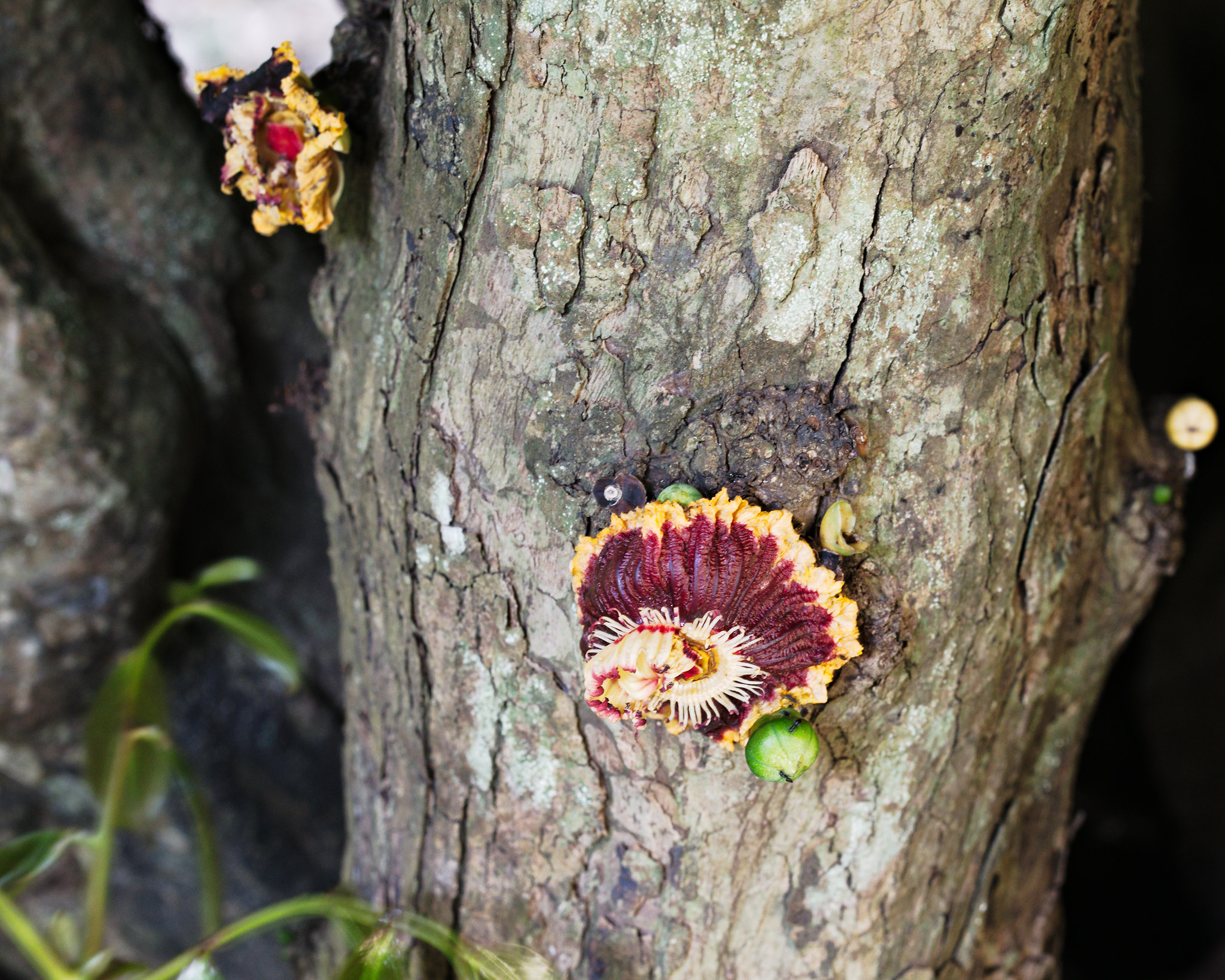 Napoleona Imperialis Napoleons Crown Flower On Tree Trunk