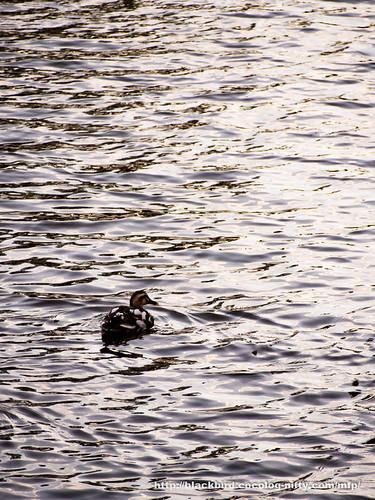Duck #02