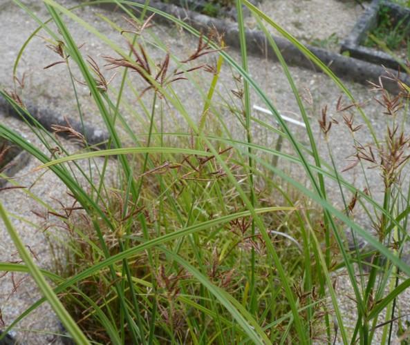 Cyperus longus 24230987405_594300221f_o