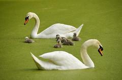 Swan Family In Duckweed