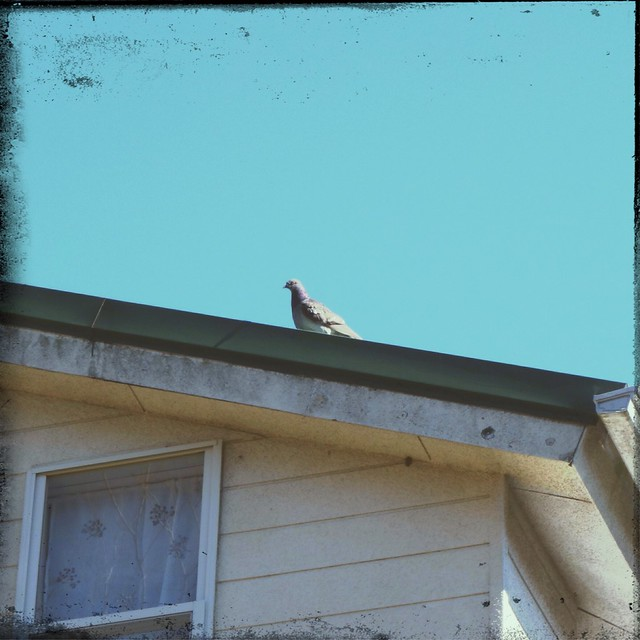 Gray pigeon on the roof