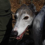 Greyhound Adventures at Horn Pond, Woburn MA, March 13th 2016