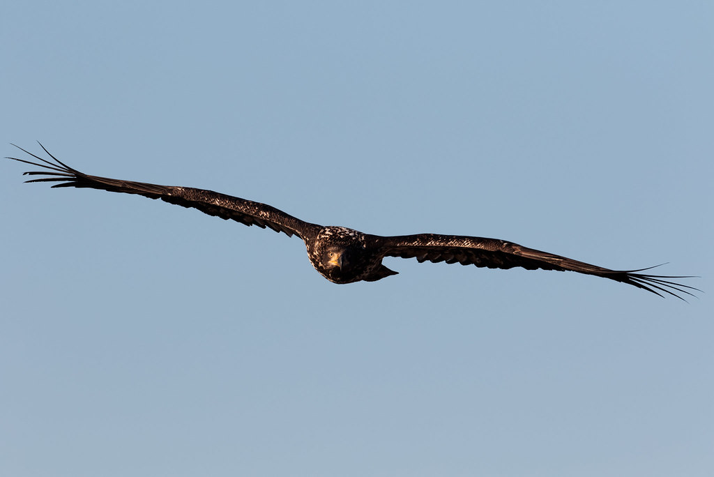 A head-on view of a soaring bald eagle