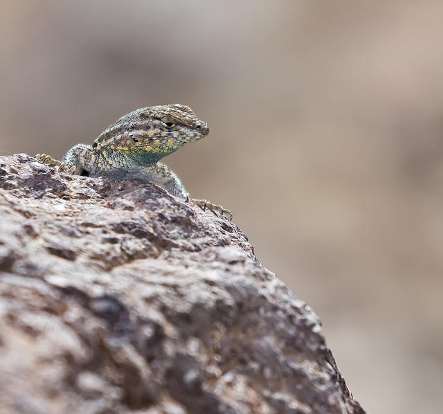 Lizard 20_7D2_130316