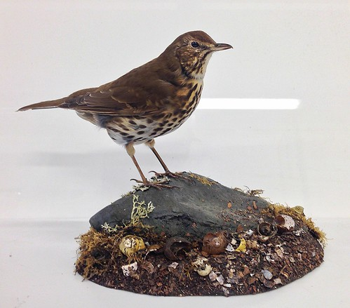 Song Thrush base