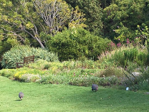Kirstenbosch Wild Guinea Hens