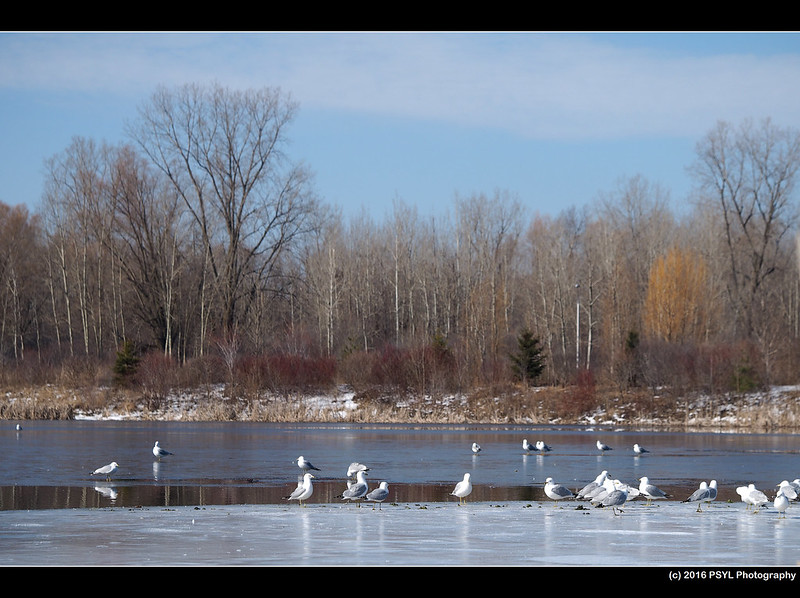 Gulls on partially frozen wetland