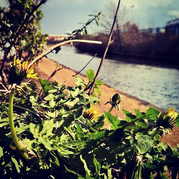 #Dandelion #BridgewaterCanal #UrbanBotany