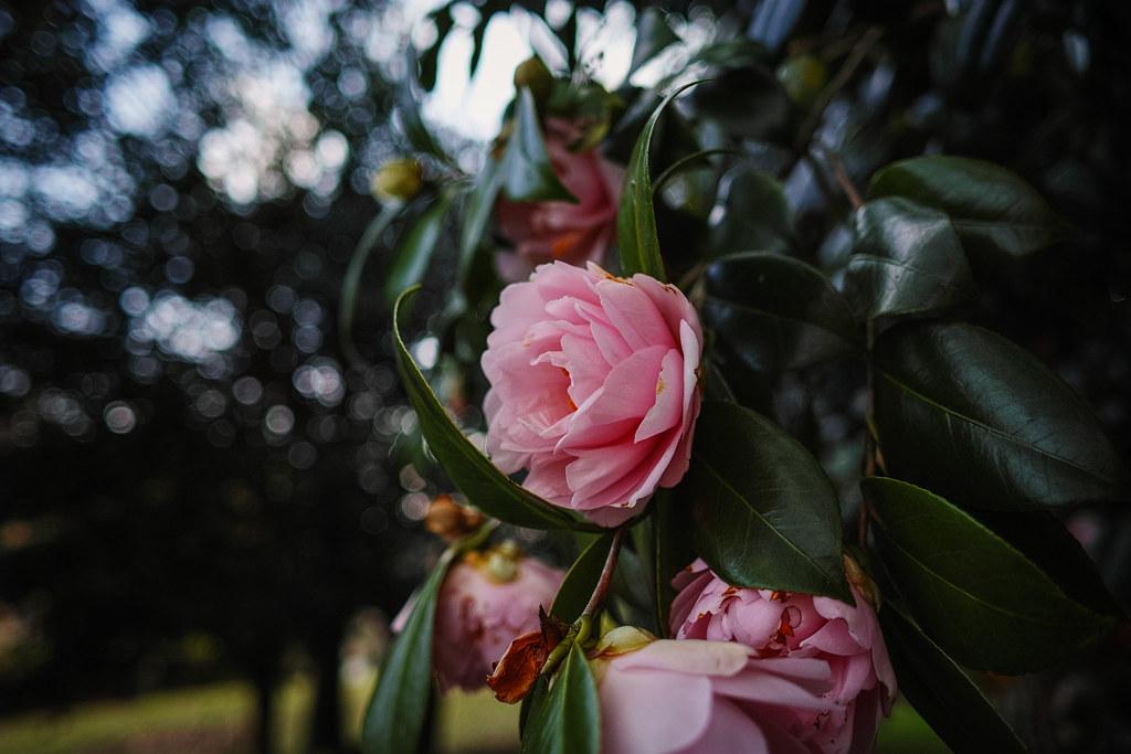 春日公園の椿