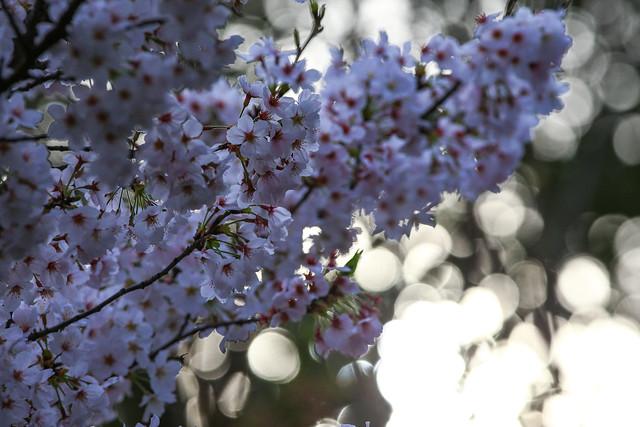 日暮れの桜、光の中で