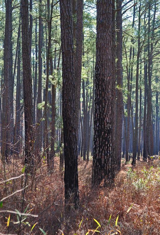 Zuni Pine Barrens (9)