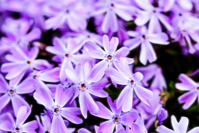 The Phlox are back!