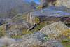 Pacific Golden Plover, St. Paul Island, Aleutians West, Alaska by Terathopius