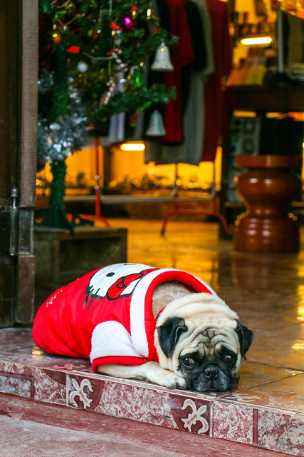 A dog wearing Hello Kitty shirt, Luang Prabang, laos ルアンパバーン、キティちゃんの服を着た犬