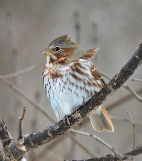 Fox Sparrow_N5958