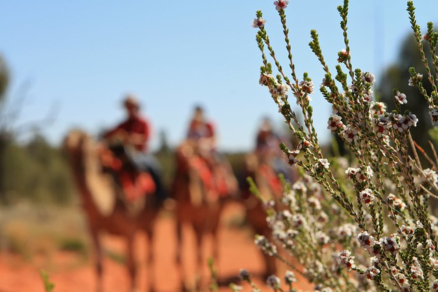 24 plant with camels in background Uluru Photography 009