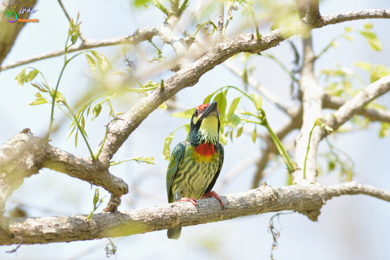 Coppersmith_Barbet_3102
