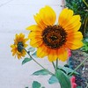 Brightness all around #sunflower #flora #garden #orange #sunshine