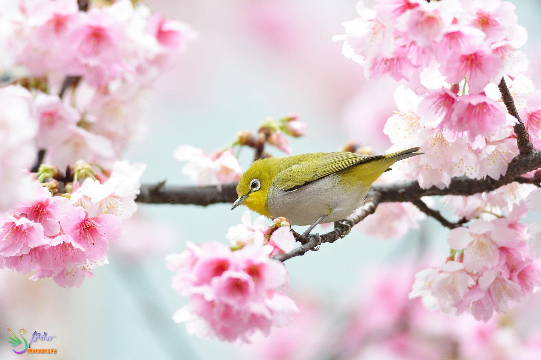 Sakura_White-eye_7940