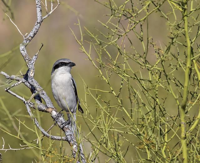 Loggerhead Shrike-corp 5_7D2_170316