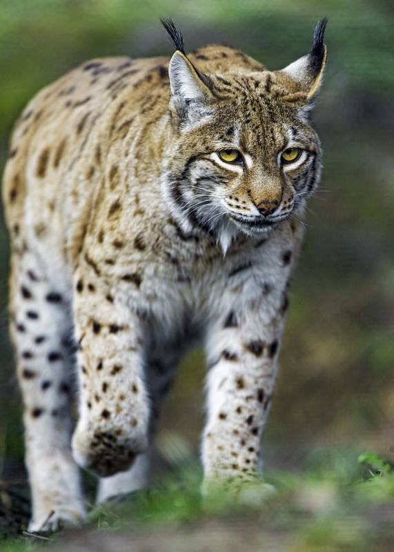 Concentrated lynx walking