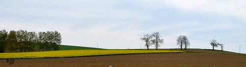 Le colza, les arbres, le ciel