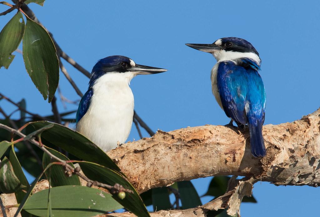Forest Kingfishers (Todirhampus macleayii) (20 centimetres).01