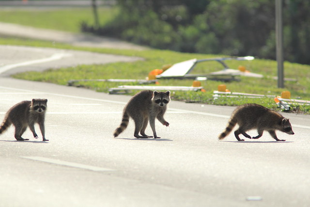 Raccoon family crossing Pines 20160402