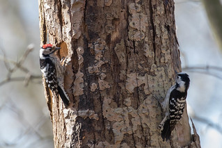 Pair of Lesser spotted woodpeckers (Dryobates minor)