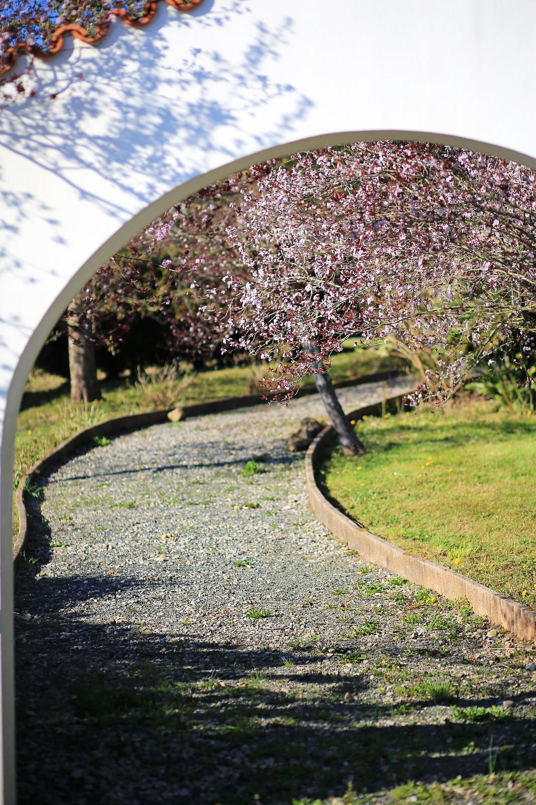 allée bordée de cerisiers en fleurs