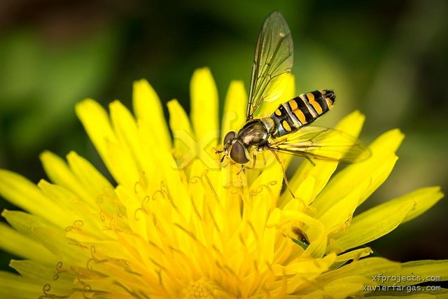 Drone-fly over yellow flower