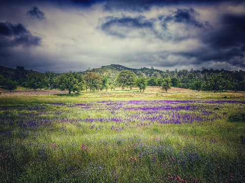 california flowers trees green nature field landscape spring pretty purple stephen wildflowers hollingsworth iphoneography