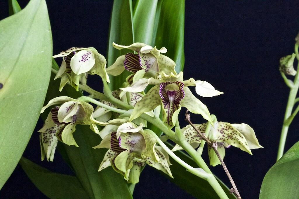 Dendrobium maccrophyllum x atroviolacea 23902060829_d486af547c_b