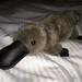 Can hug this platypus! by PLeia2