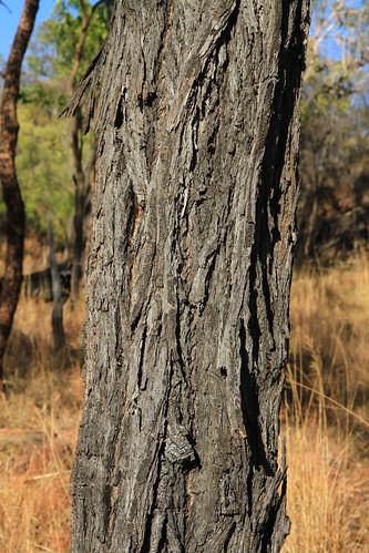 桉樹樹幹紋理-澳洲昆士蘭Undara Experience-20141117-賴鵬智攝