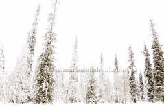 Lapland dream