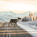 Why did the caribou cross the road? by frostnip907