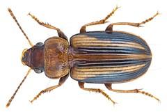 Stenolophus (Egadroma) plagifer (Klug, 1853) Syn.: Egadroma plagiferum Klug 1853