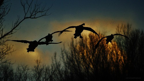 sunset silhouette geese nikon dusk goose 300mm waterfowl canadagoose hamon d3200