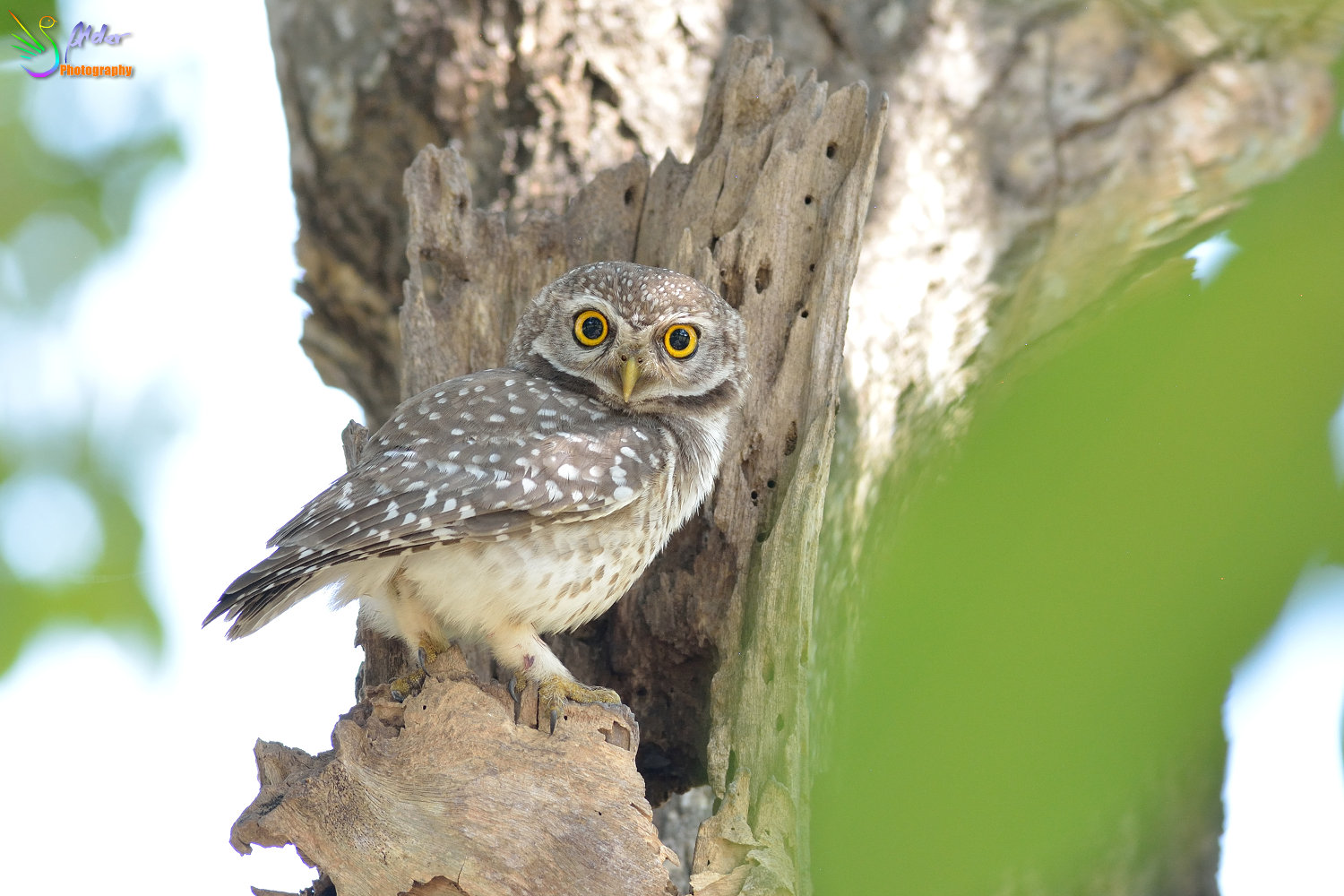 Spotted_Owlet_3064