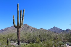 The iconic Saguaro