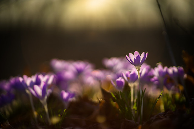 Purple Crocus at Sunset
