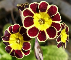 Primula gold lace. The paler burgundy variety.