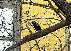 New York City Birds: European Starling