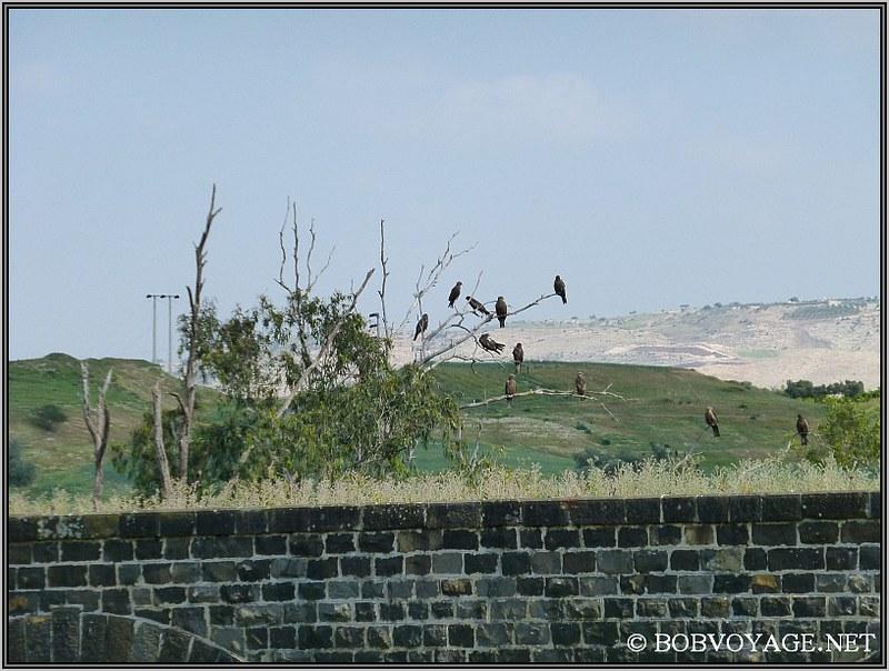 עץ עם דיות (עוף דורס) ב- טיול קצר בצפון הארץ